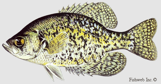 picture of a black crappie 525 � 275 - k  -